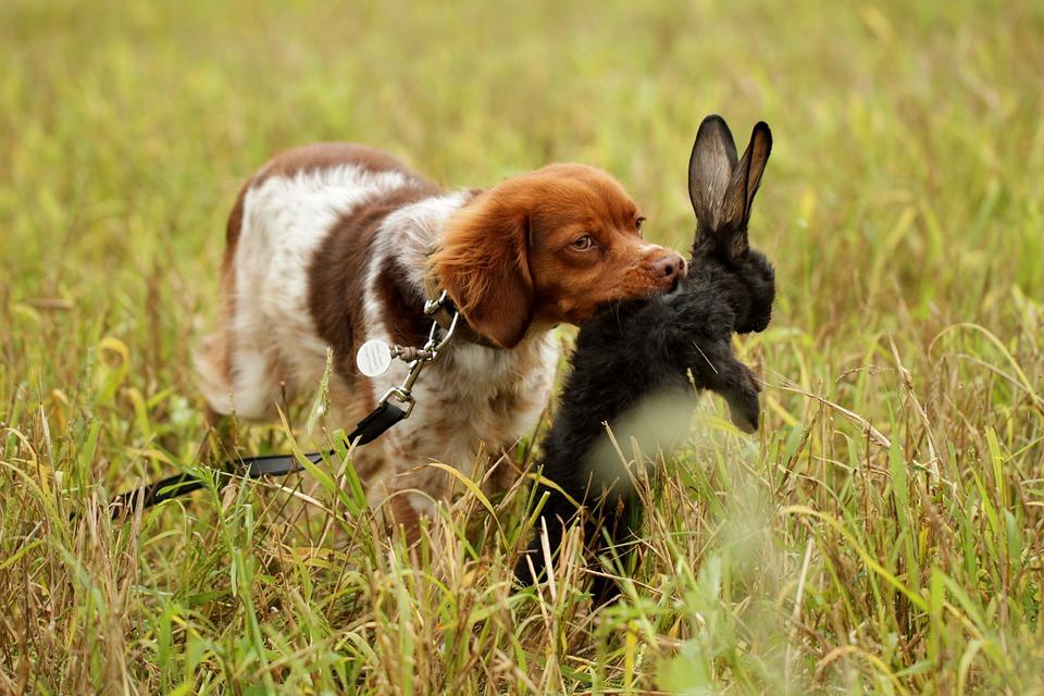 Dog, Hunting, Pointer, Retrieve, Rabbit