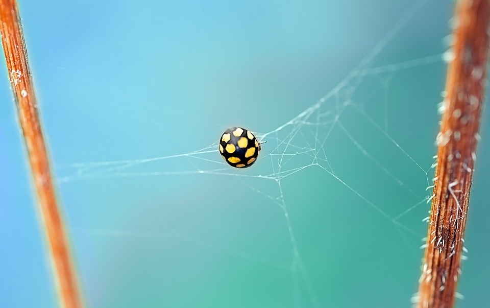 Ladybug, Beetle, Yellow, Points, Dry Grassland-ladybug