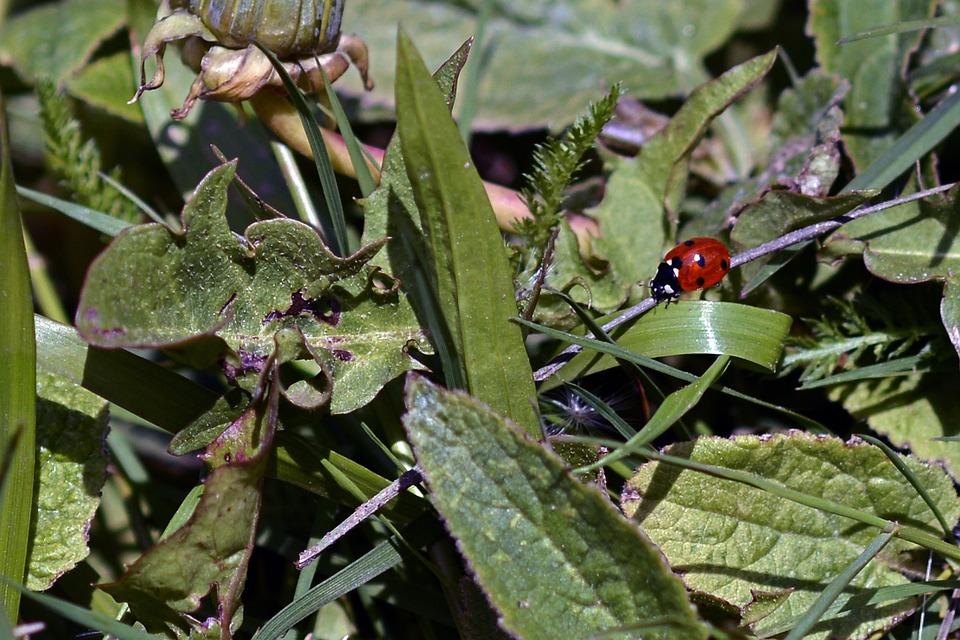 Ladybug, Lucky Charm, Lucky Ladybug, Points, Red, Black