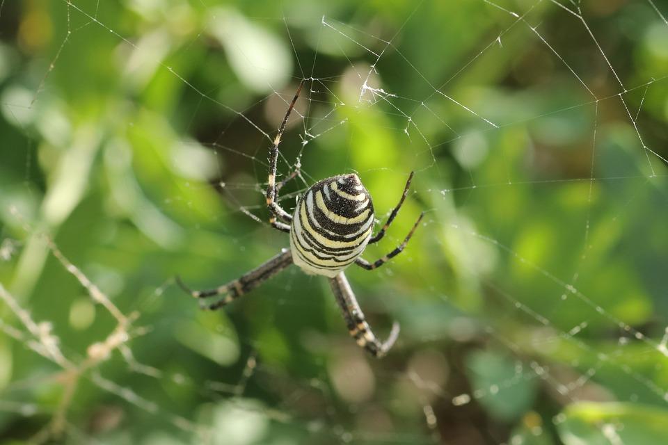 Spider, Wasp, Poisonous, Spider Web, Sun