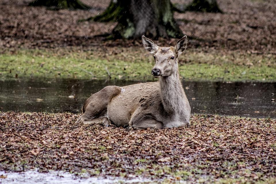 A Female Deer, Białowieża, Doe, Poland