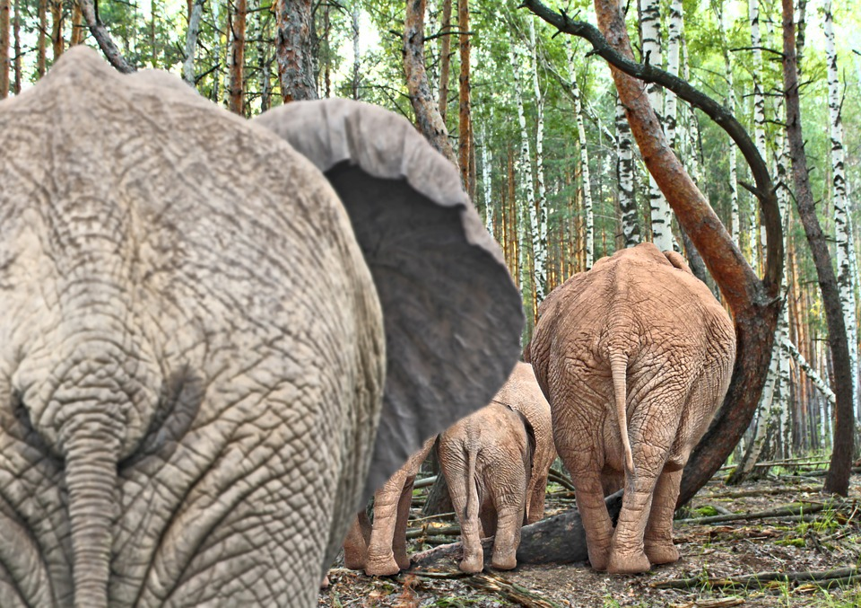 Elephant, Pachyderm, Safari, Trees, Askew, Poland