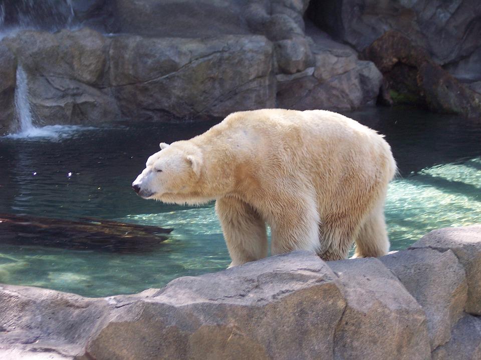Polar, Bear, Polar Bear, Arctic, Animal, Endangered