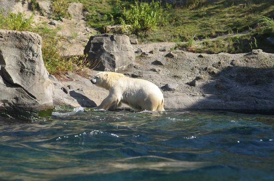 Polar Bear, Water, Rock, Zoo