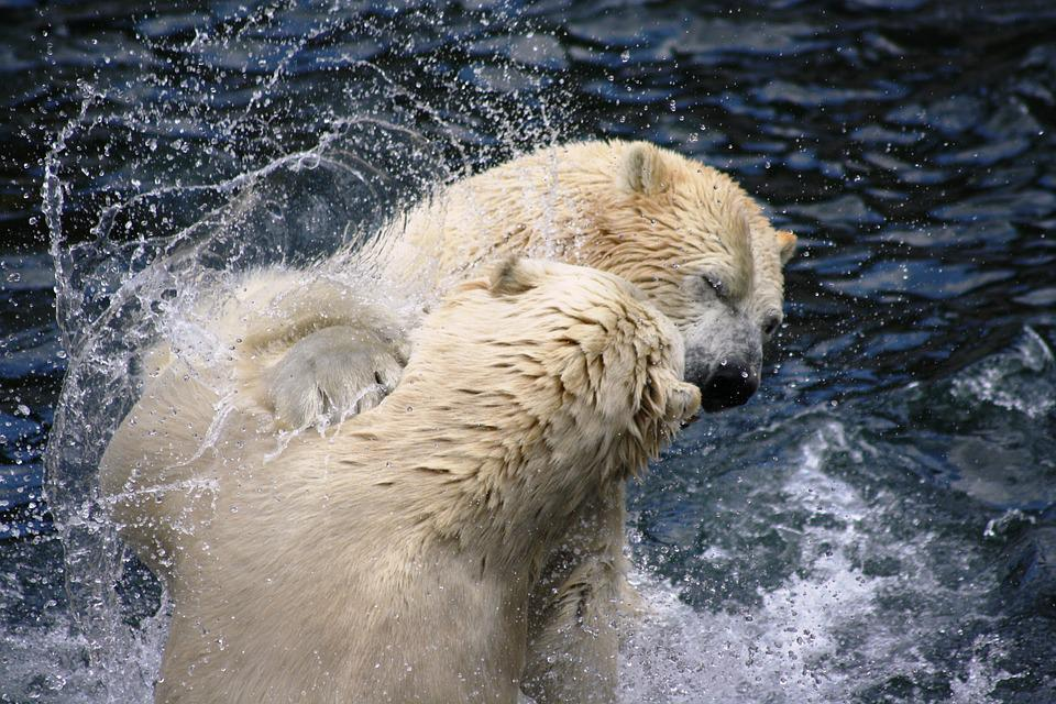 Polar Bears, Zoo, Hanover, Predator, Fight, Violent