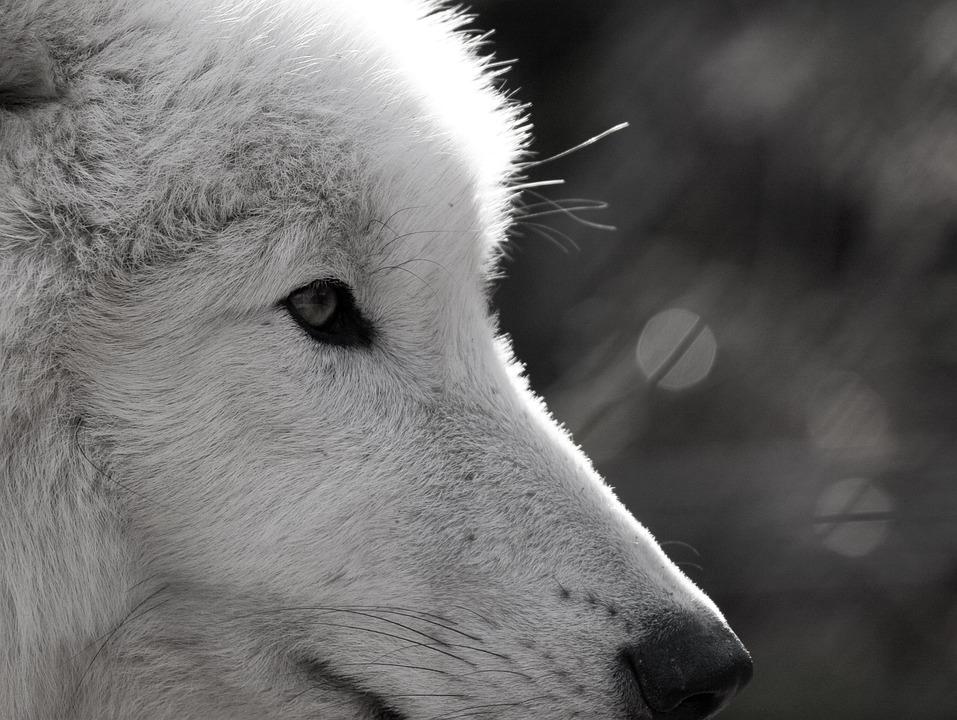 Wolf, Polarwolf, Wild Animal, Eye, Close, Wildlife Park