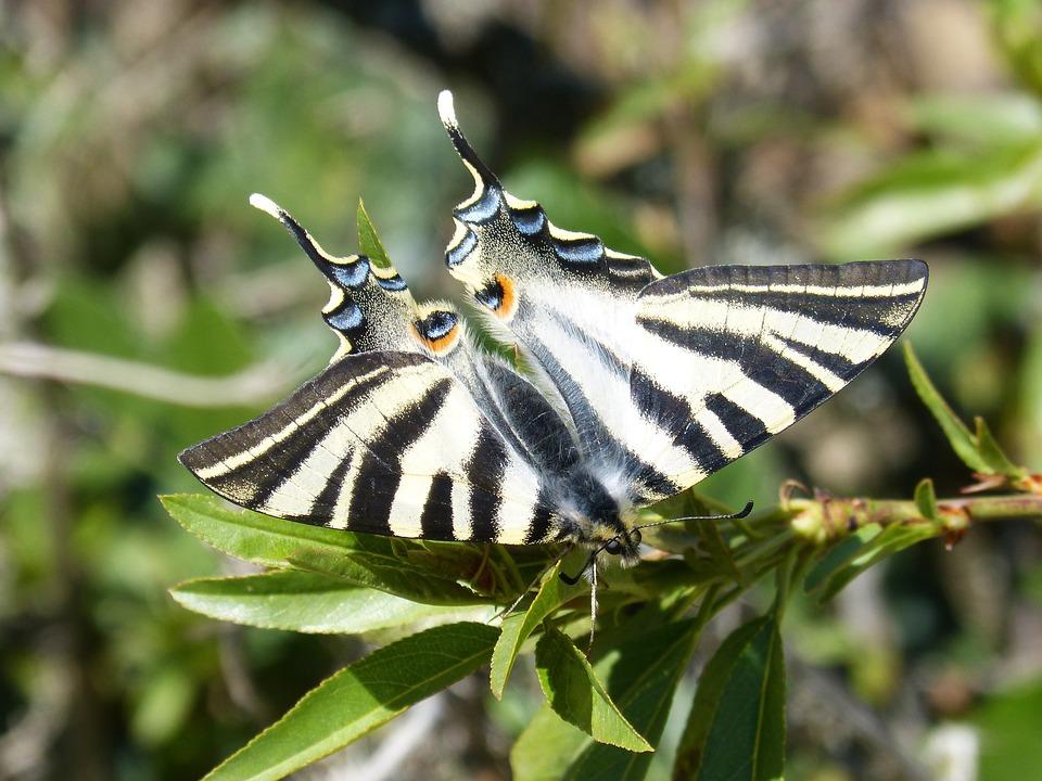 Butterfly, Scarce Swallowtail, Chupaleche, Polidario