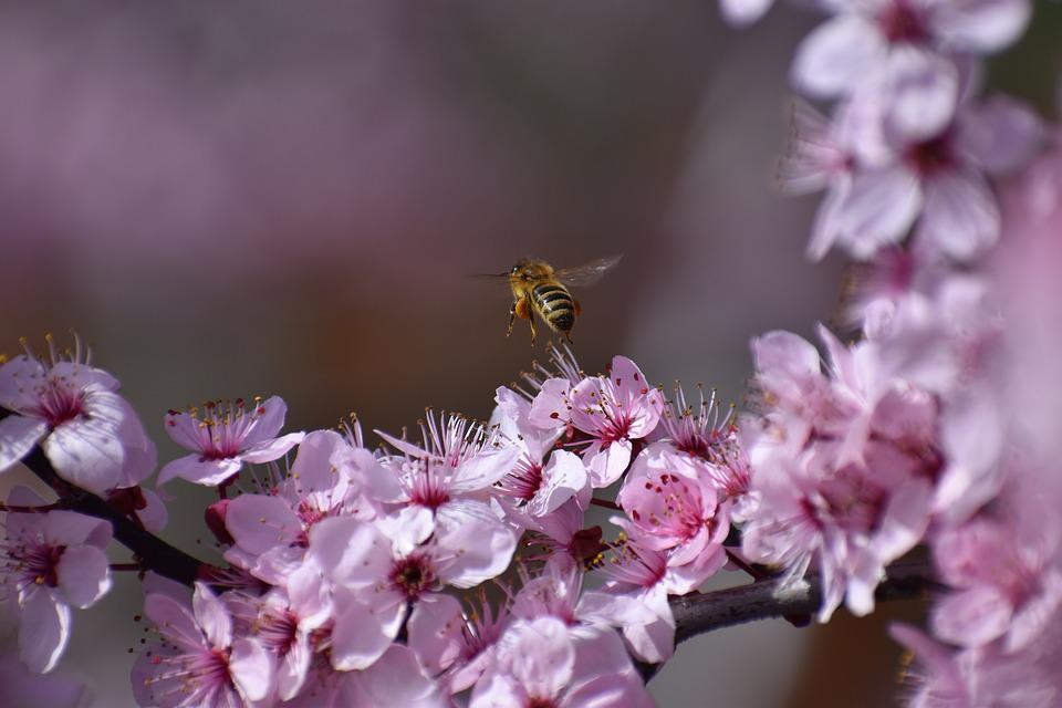 Bee, Insect, Nature, Bloom, Spring, Lavender, Pollen