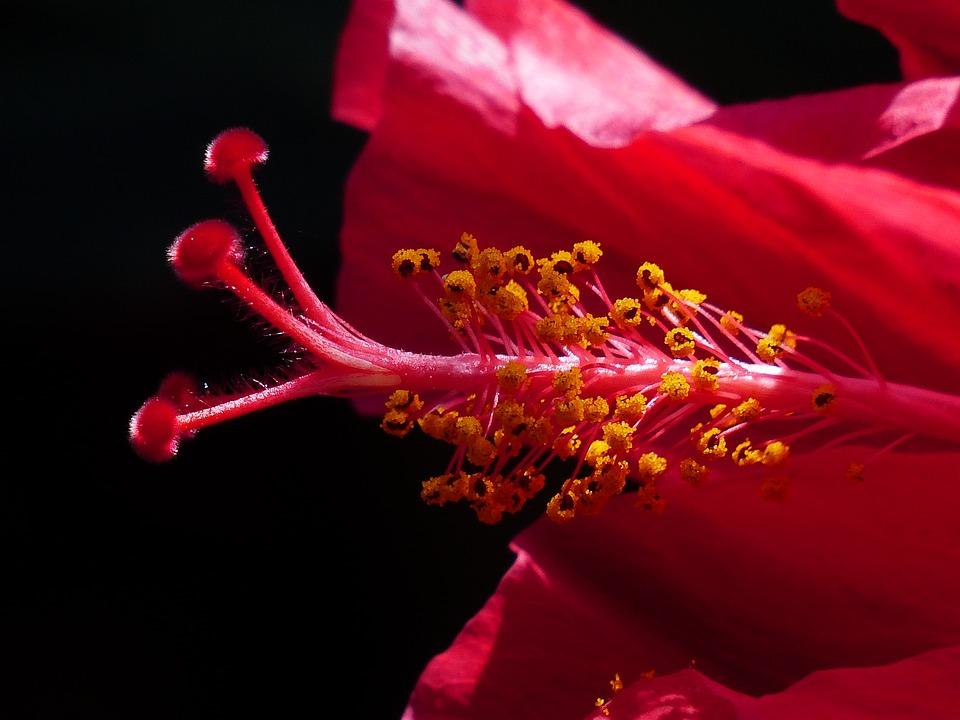 Hibiscus Flower, Stamp, Pollen, Blossom, Bloom