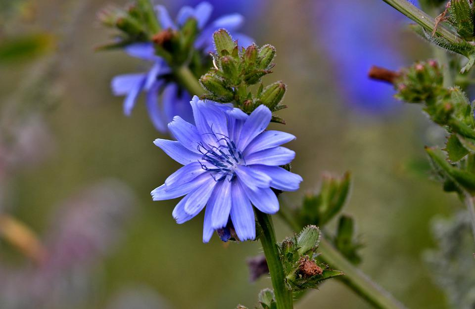 Chicory, Flower, Blue, Nature, Summer, Flora, Pollen