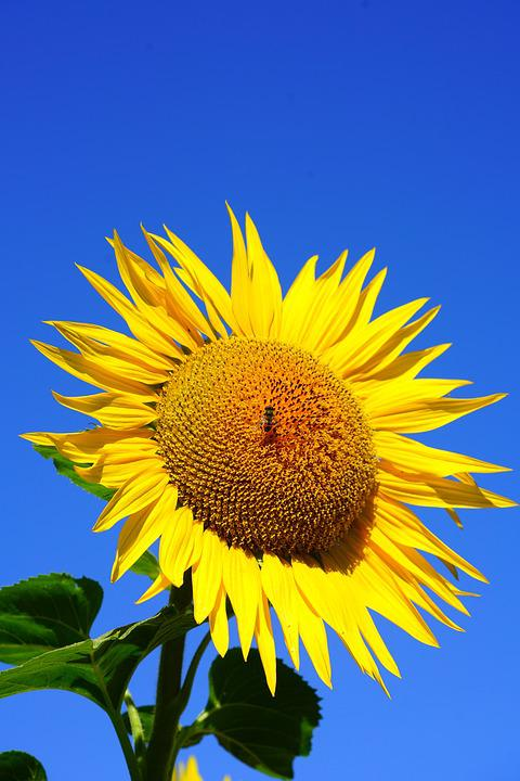 Sun Flower, Blossom, Bloom, Bee, Pollen, Collect