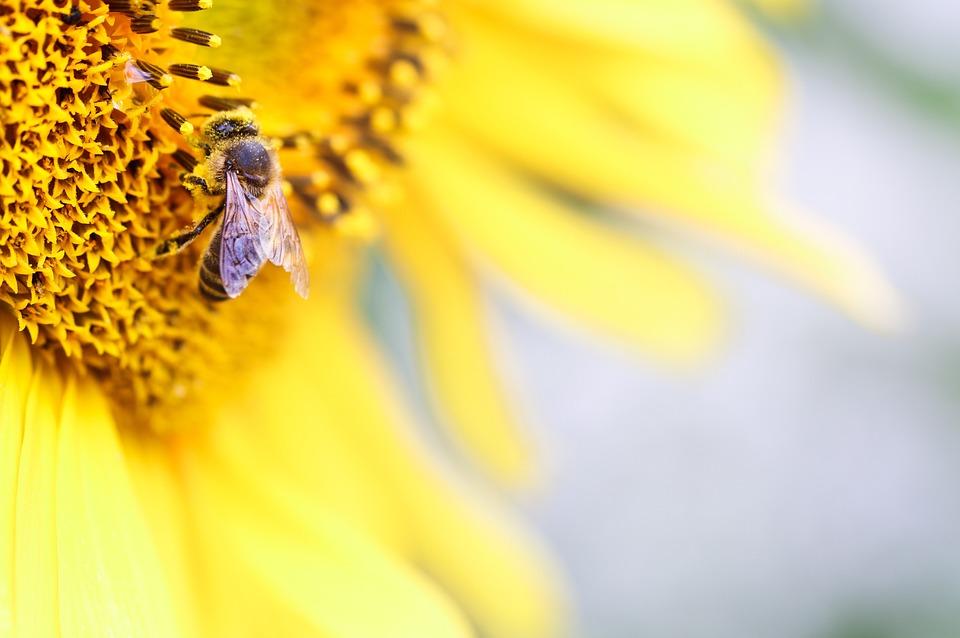 Bee, Sunflower, Pollen, Yellow, Summer, Drop Of Water