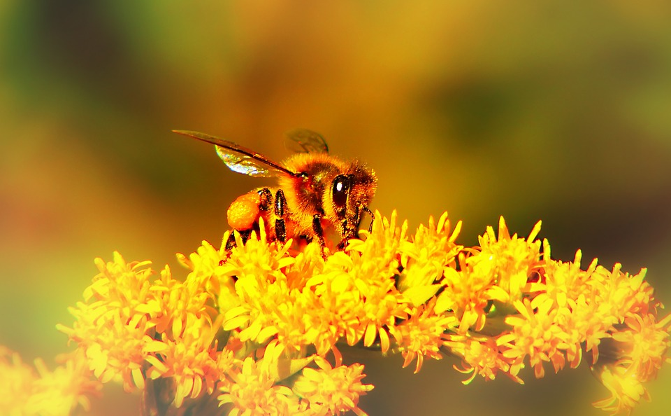 Bee Miodna, Insect, Flower, Apiformes, Nectar, Pollen