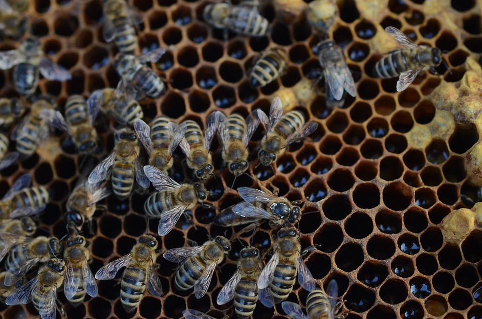 Bee, Honey, Hive, Wax, Pollen, Insects, Nature, Apis
