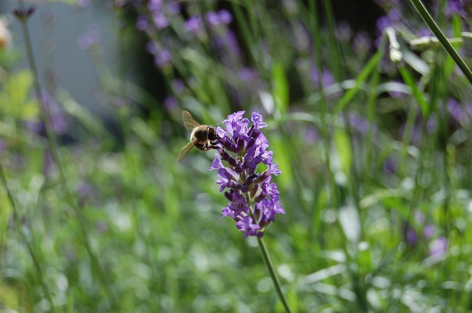 Honey Bee, Lavender, Pollen, Nature