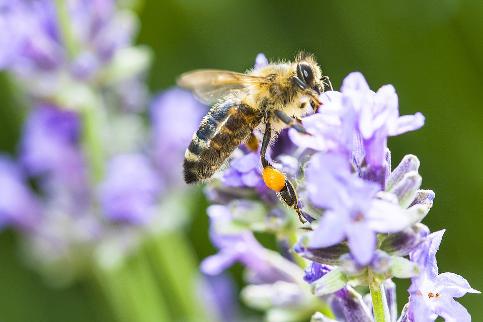 Bee, Insect, Flower, Plant, Pollination, Pollen, Nectar