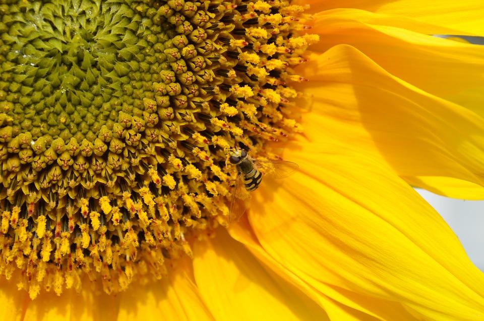 Sun Flower, Pollen, Insect