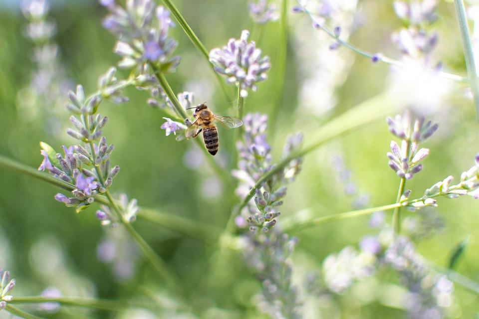 Bee, Lavender, Insect, Flower, Pollen, Garden