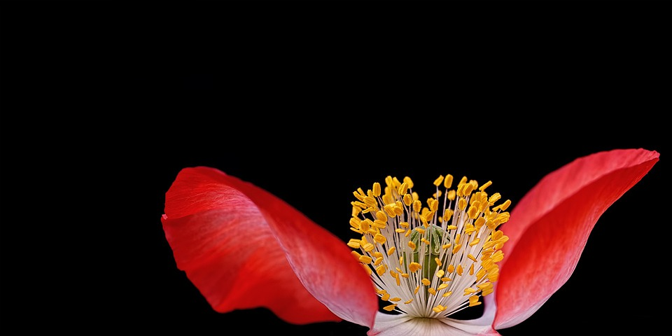 Poppy, Plant, Nature, Macro, Close, Pistil, Pollen