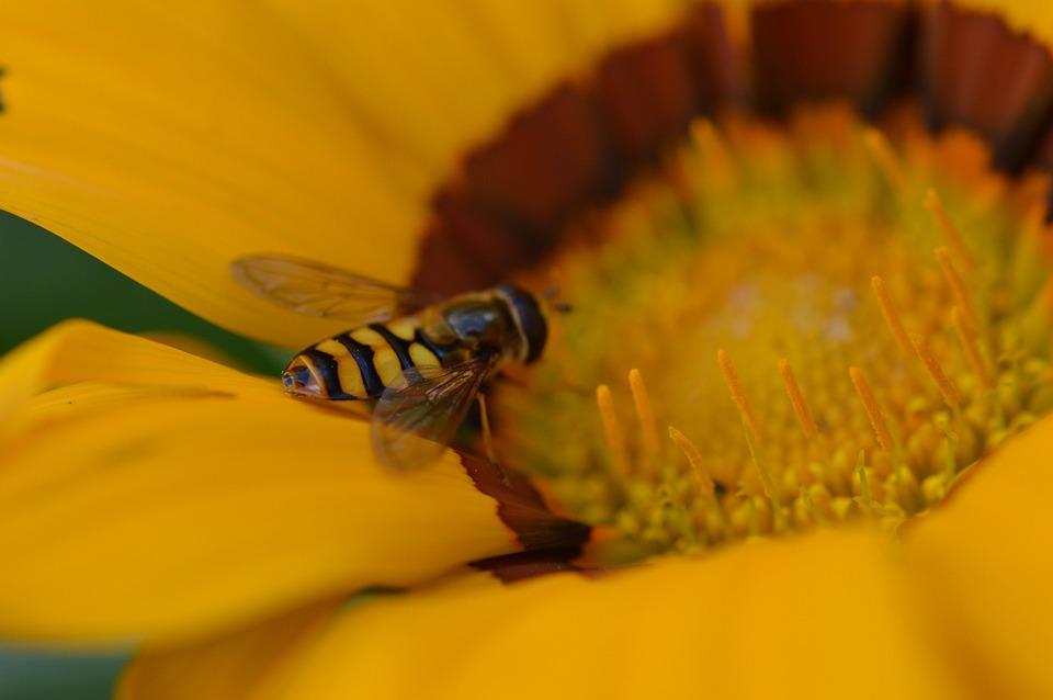 Hoverfly, Pollen, Petals, Pollinate, Pollination