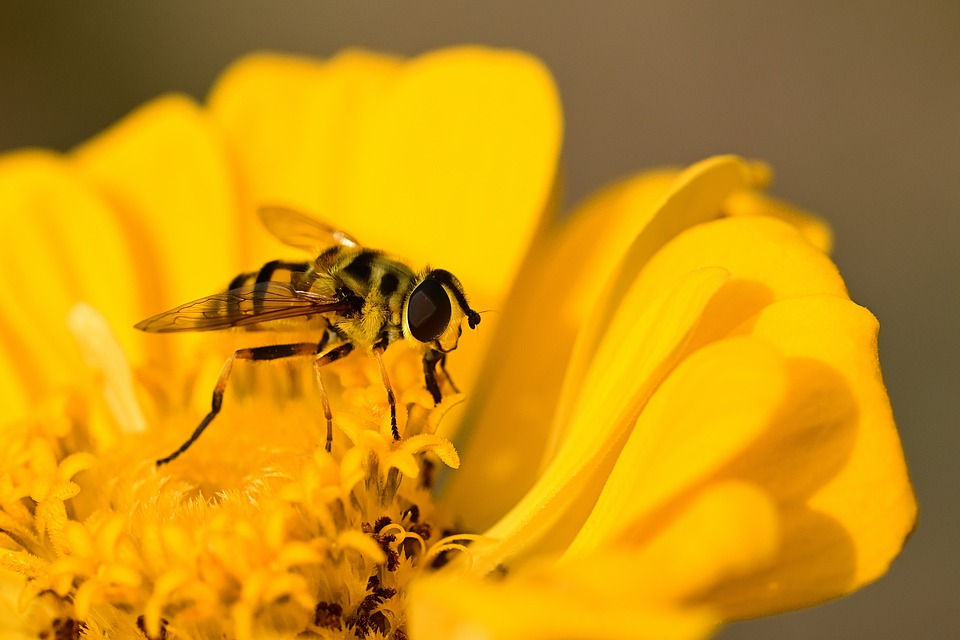 Hoverfly, Zinnia, Yellow, Blossom, Pollen, Pollinate