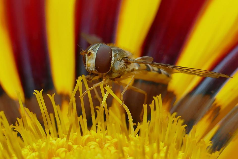 Hoverfly, Pollen, Pollination, Insect, Blossom, Bloom