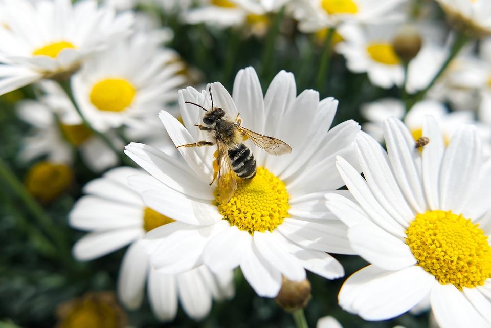 Bee, White Flowers, Pollen, Pollinate, Pollination