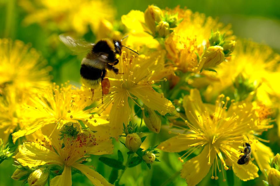 Bee, Yellow, Flowers, Pollinate, Pollen, Pollination
