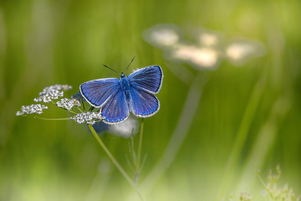 Mazarine Blue, Butterfly, Flower, Pollinate