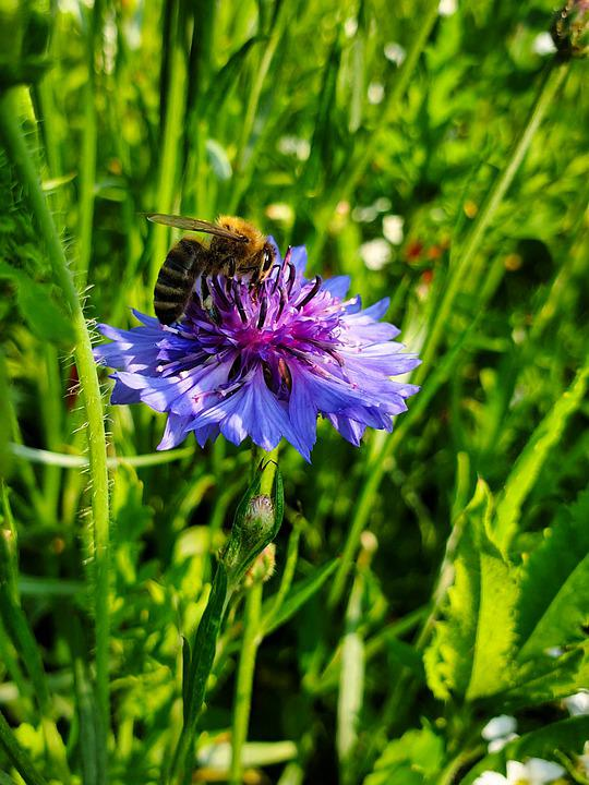 Bee, Insect, Pollinate, Pollination, Cornflower, Flower