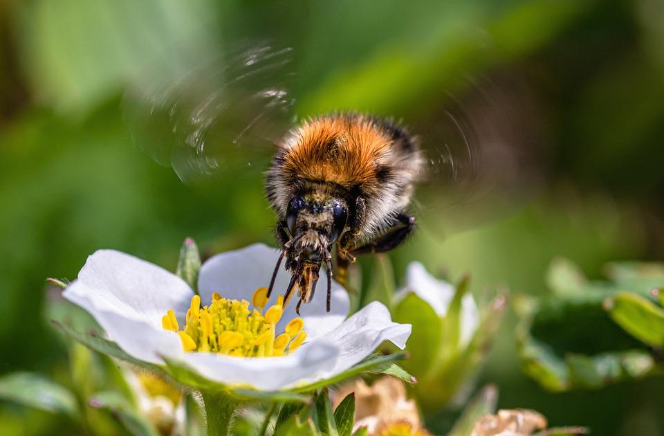Strawberry Flower, Bee, Pollinate, Pollen, Pollination