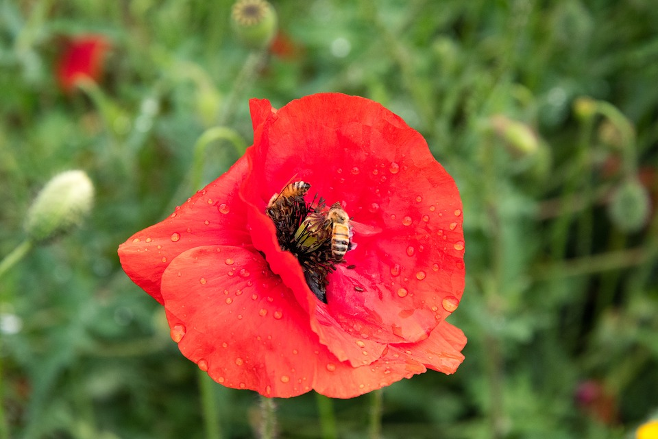 Poppy, Bees, Red, Garden, Pollinating, Insect, Pollen