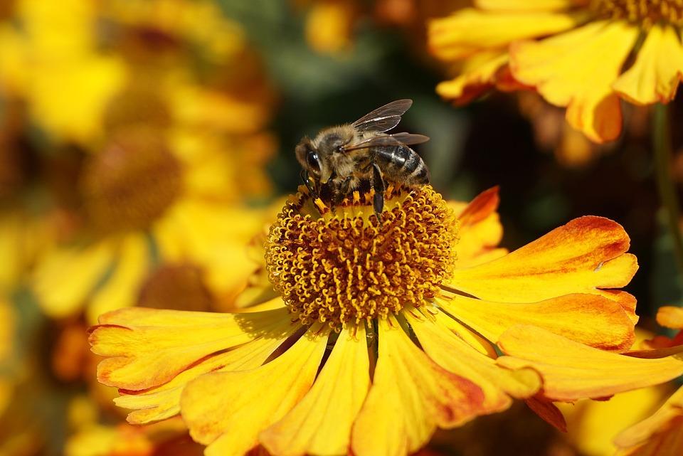 Bee, Blanket Of Flowers, Pollination, Gaillardia