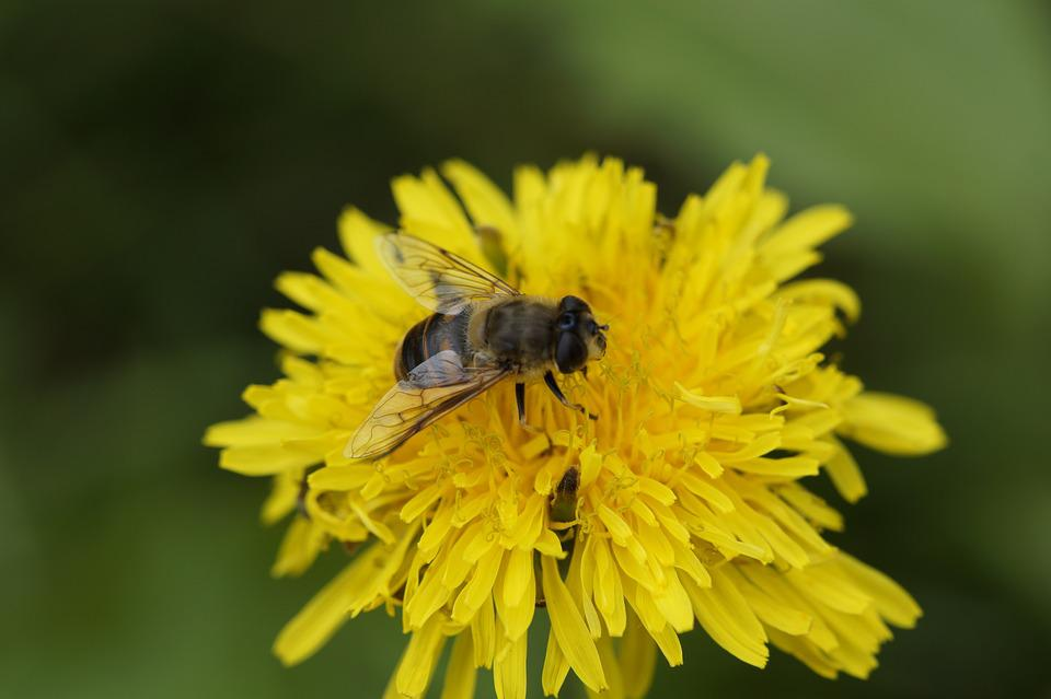 Bee, Close, Dandelion, Foraging, Pollination, Blossom