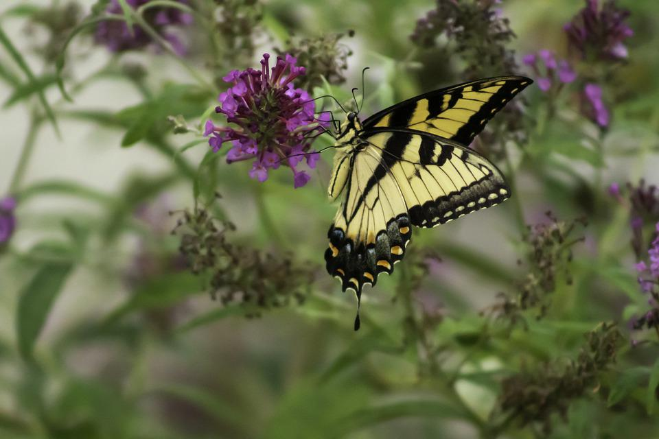Pollination, Butterfly, Flowers, Pollinator, Insect