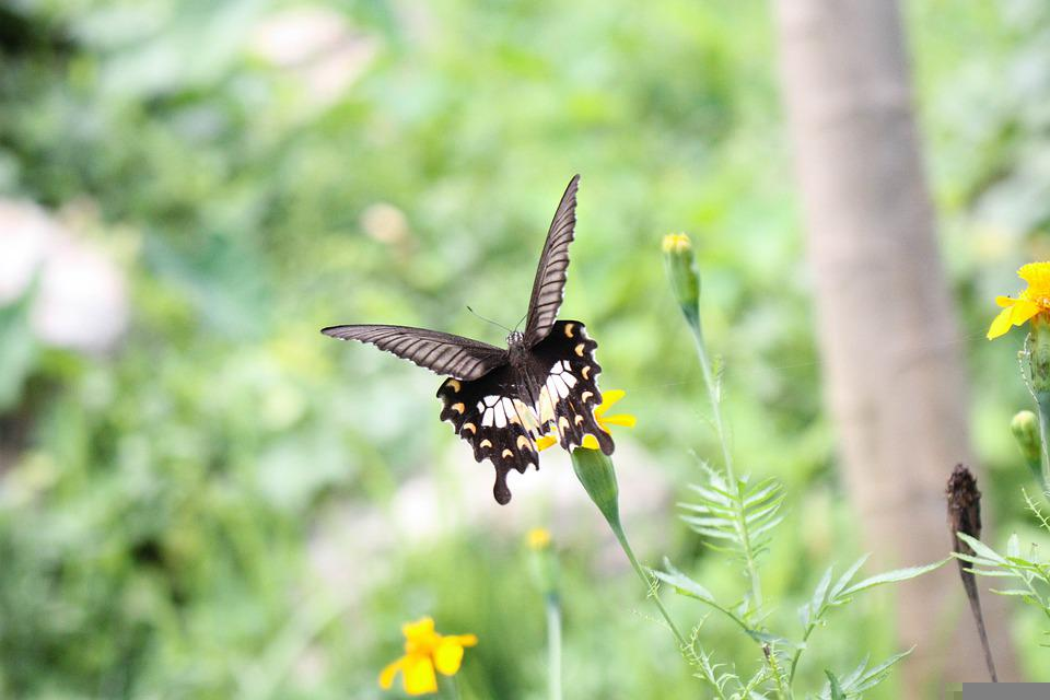 Butterfly, Pollinate, Pollination, Lepidoptera