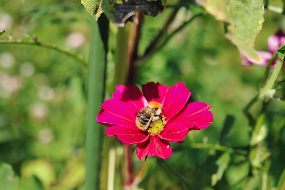 Flower, Bee, Pollination, Insect, Entomology, Zinnia