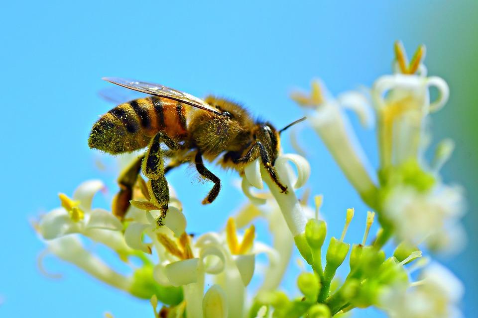 Honey Bee, Insect, Animal, Feeding, Flower, Pollination