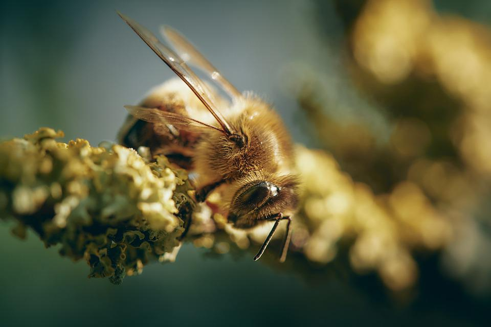 Bee, Nature, Insect, Pollination, Pollinate, Fauna