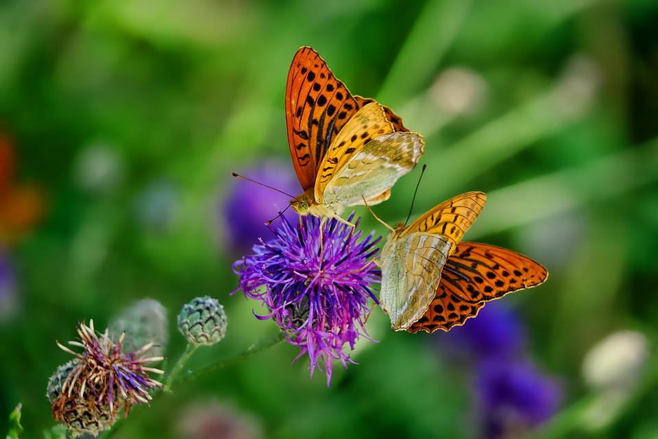Butterflies, Flowers, Pollinate, Pollination, Insects
