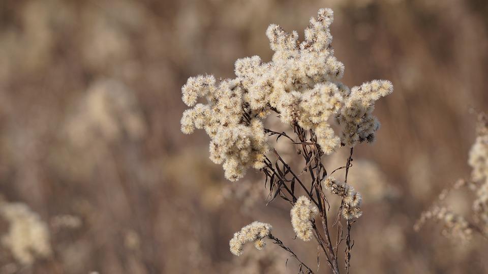 Polny Flower, Winter, Plant
