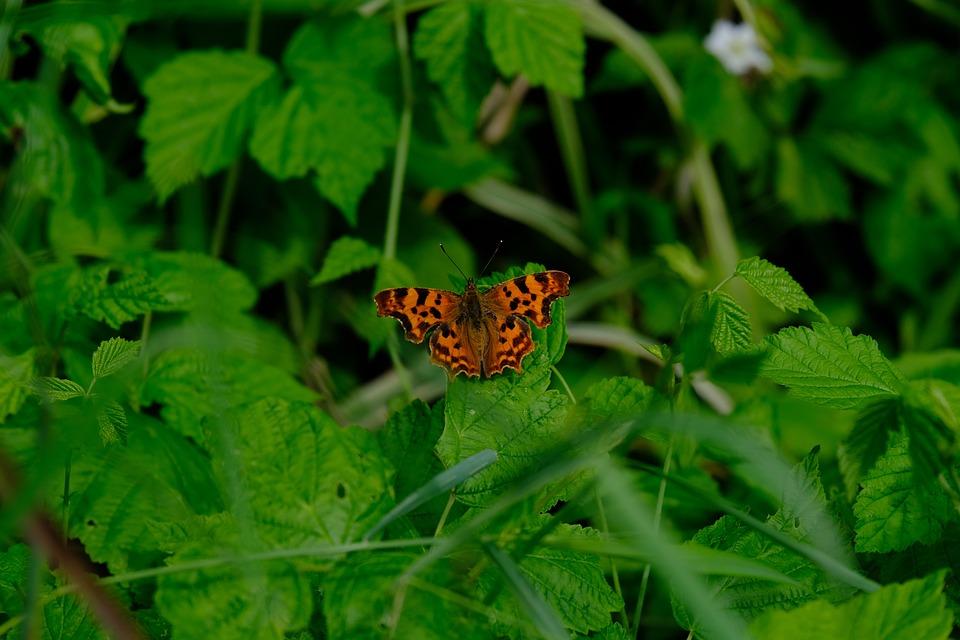 C Falter, Butterfly, Polygonia C Album