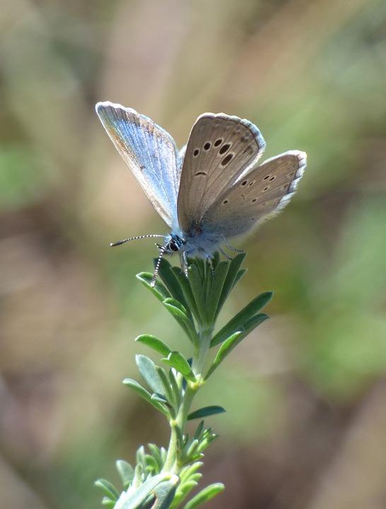 Butterfly, Polyommatus Icarus, Blue Butterfly, Blaveta