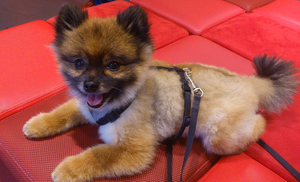 Dog, Dwarf Spitz, Pomeranian, Pom Pom, Animal