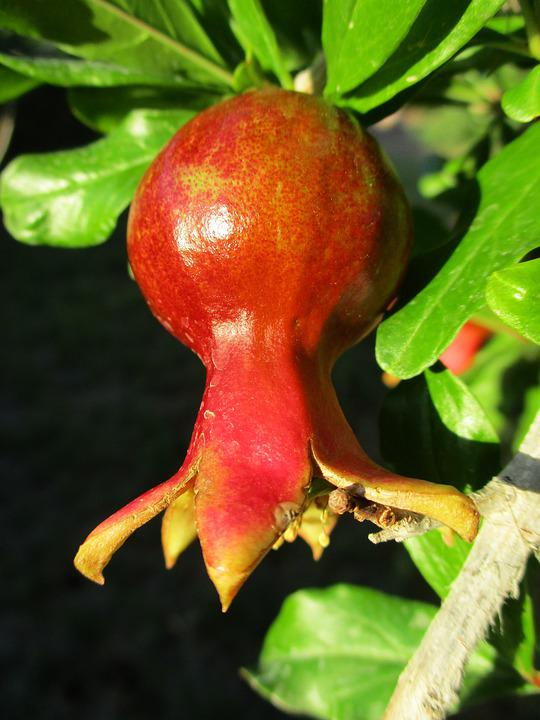 Pomegranate, Fruit, Agriculture, Red, Food, Nutrition