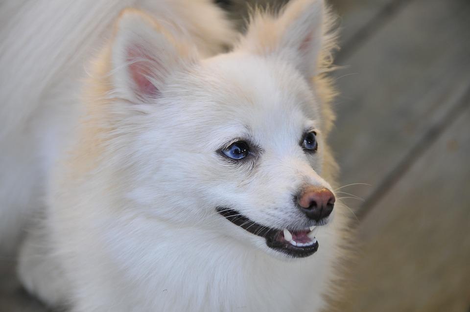 Dog, Pomeranian, White, Pet, Canine, Animal, Furry
