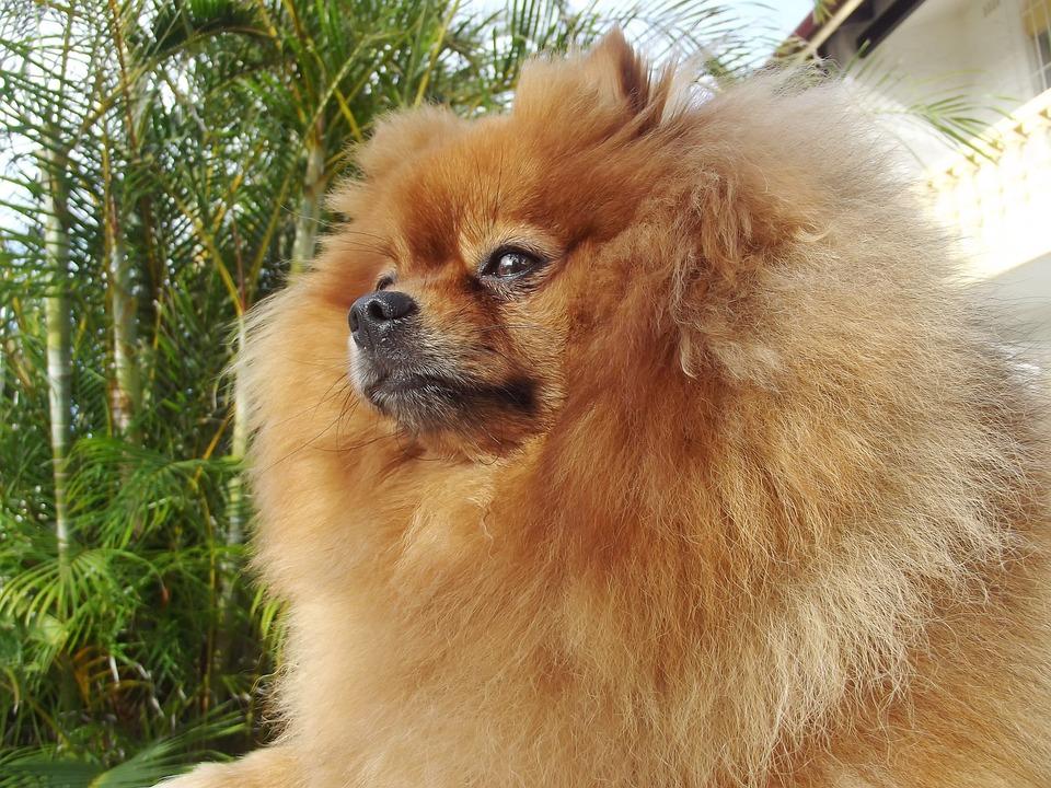 Pomeranian, Spitz Type, Nordic Descent, Name Rambo