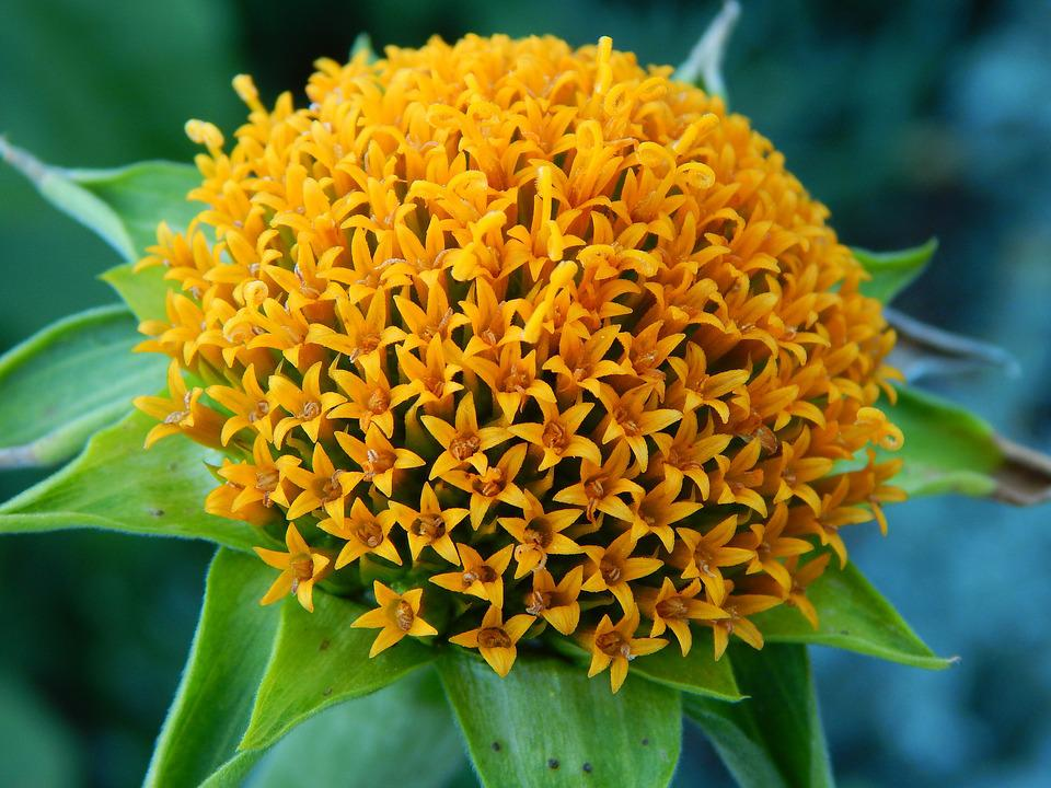 Yellow, Flowercenter, Pompom