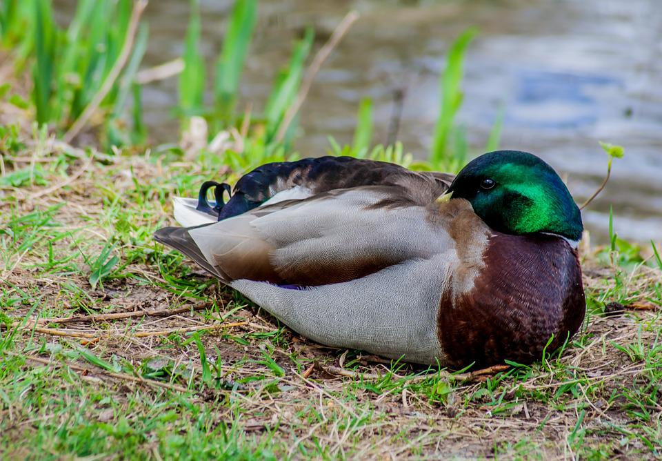 Duck, Nature, Pond, Bird, Water, Animal, Water Bird
