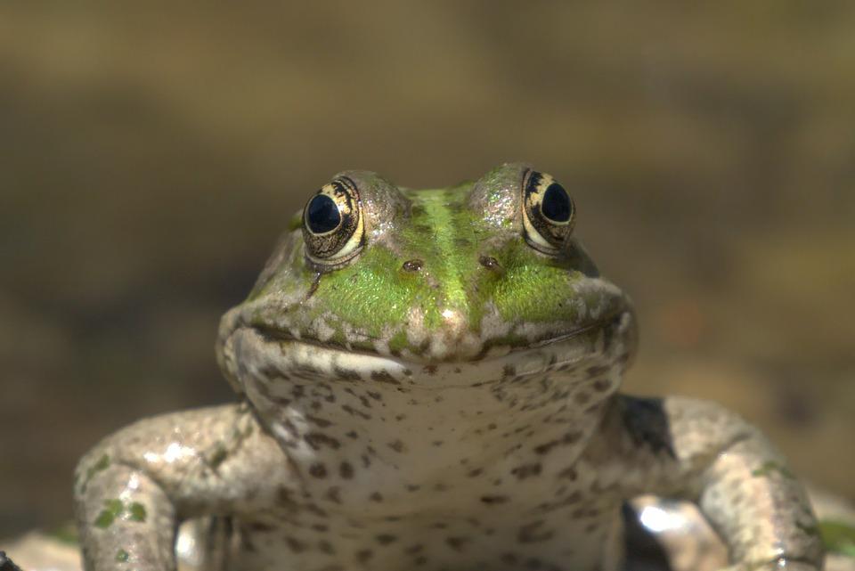 Frog, Amphibian, Animal, Pond